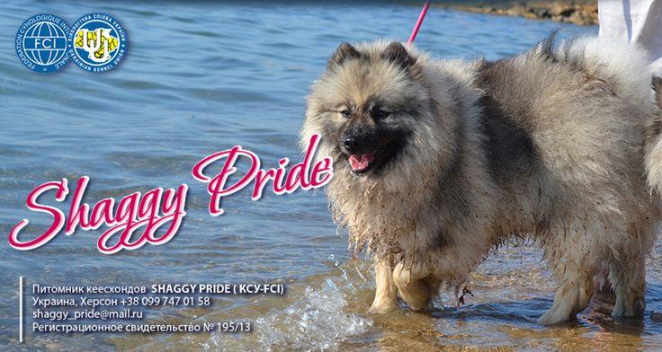 Продажа январьских 2015 года щенков кеесхонда от чемпионов. Питомник Shaggy Pride на Украине. Херсон.