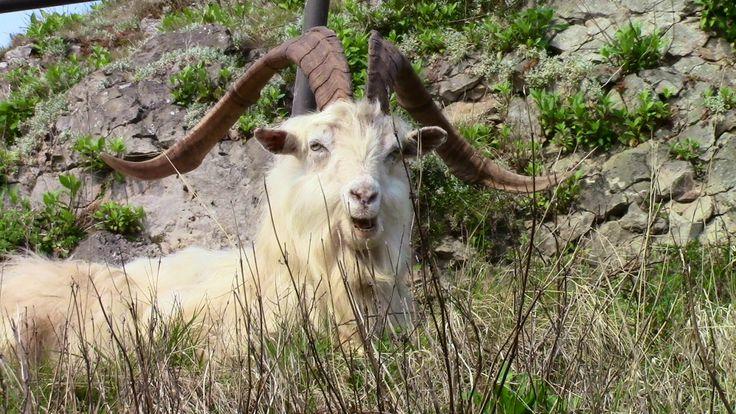 'I'm Taff one of the Great Orme Goats of Llandudno,N.wales'.