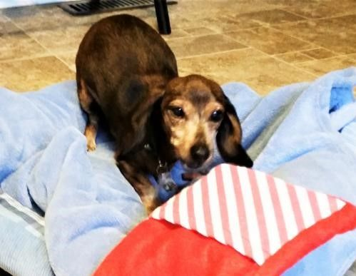 Hi I'm Halo !! I heard all you want for Valentine's Day is a #sweet #loving #snuggle bug #dachshund #senior #frosty faced girl who #loves all #dogs and #people  ! How lucky for you ! I'm your girl ! You get my #adoption papers filled out while I get my bankies packed up !
