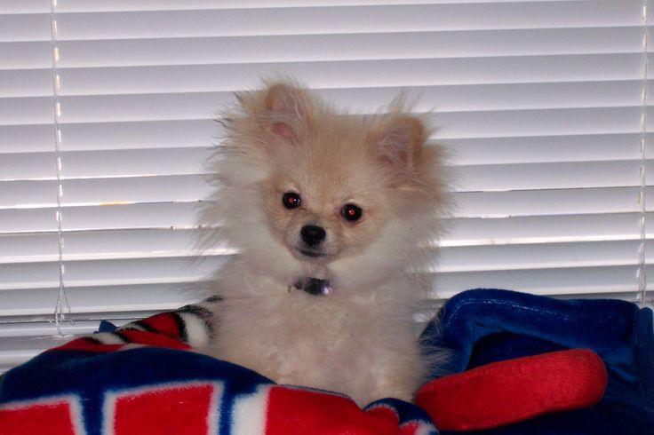 Pomeranian, Pom, dog, puppy, puppy uglies | Pomeranians ...