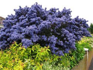 Ceanothe :   Hauteur à maturité : 1,5-2 m /  Largeur à maturité : 2-3 m /  Rusticité : rustique /  Exposition : soleil, mi-ombre /  Période de floraison : juin à septembre