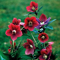 Red Lady Helleborus (Late Winter/Spring)