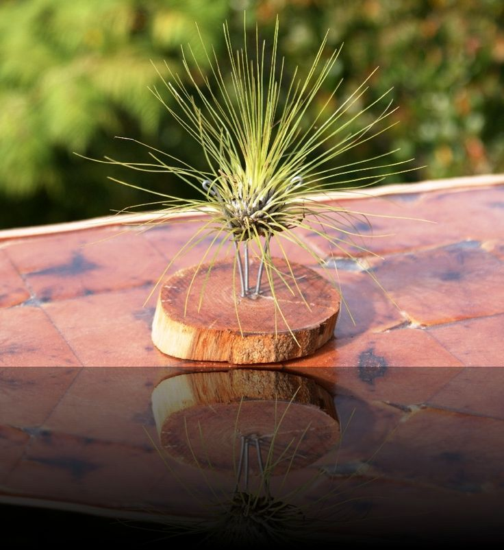 Pronged Airplant Holders   Products   Munster, KZN South Coast   Rare And Air   Munster, KZN South Coast