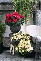 Nos conseils : - Poinsettia | Magasin Vert - Point Vert