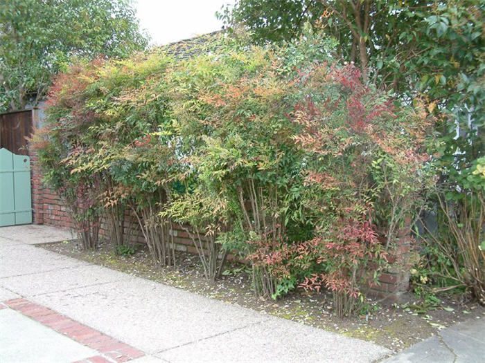 Plant Photo Of Nandina Domestica For Our Border Between
