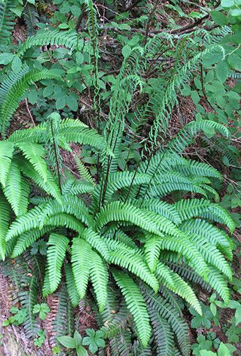 Deer Fern  Habitat: Moist to wet places, generally in heavy shade, from near sea level to middle elevations  Range: Southern Alaska through Cascade and Olympic Mountains to northern California