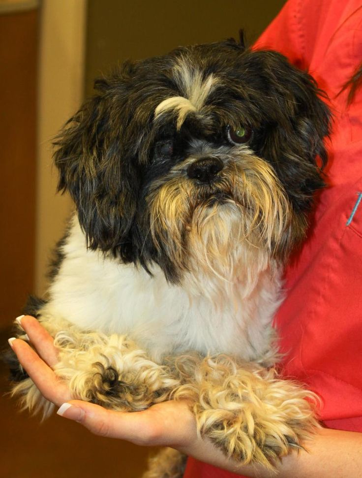 shih tzu oklahoma 17 best images about dogs low shedding small dogs on 7851