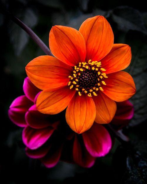 Beautiful orange & violet Dahlias
