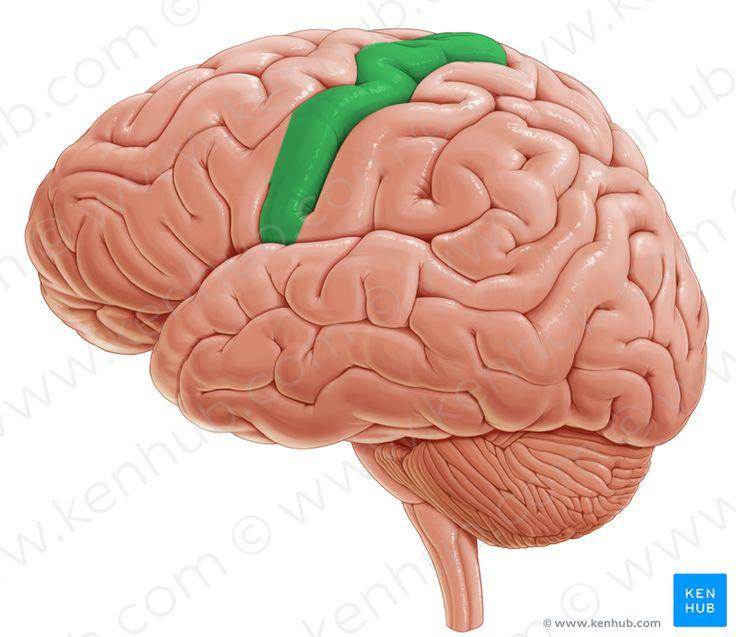 Precentral gyrus (прецентральная извилина)