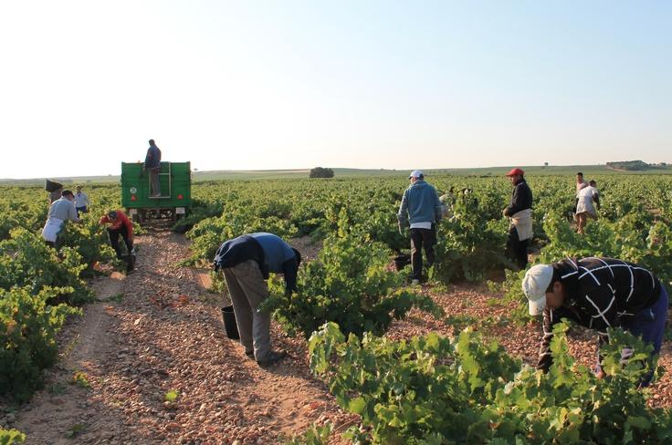 Hand-harvesters in action in Rueda