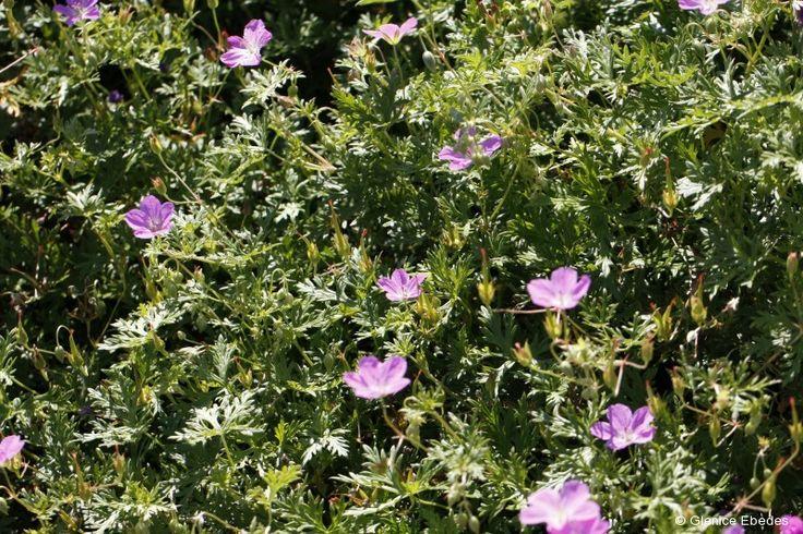 Geranium incanum (Carpet Geranium)