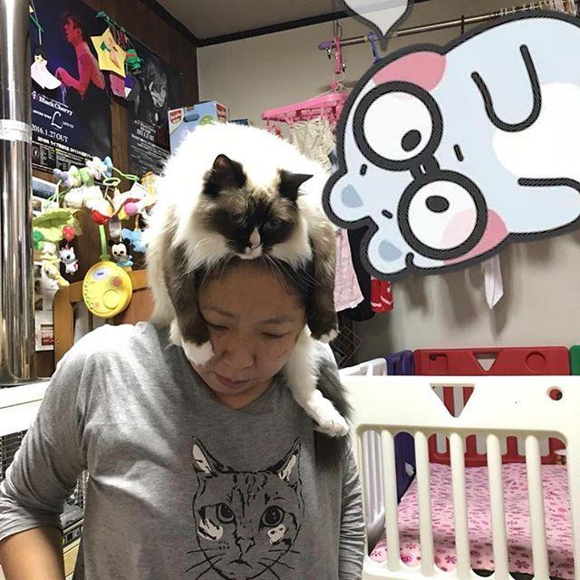 リアルキャットファーな帽子猫(笑)  朝から頭に載せられるふわりさん  #ラグドール#Ragdoll#シールポイント#シールポイントミテッド#ミテッド#ミテッド愛好家#ミテッドかわいい#ラグドール可愛い#ぬいぐるみ猫#sealpoint#愛猫#名前は羽音#名前はふわり#美人猫でも#ミスパターン#愛しのふわりさん#我が家の癒し