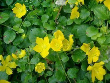 Penningkruid  – (Lysimachia nummularia) bloeit in  juni tot september met gele bloemen op dikke bloemsteeltjes. Heeft 2,5cm ronde blaadjes en vormt met de kruipende groeiwijze een lichtgroen tapijt. Groeit het beste op zonnige en zeer vochtige tot natte plaatsen. Groeit ook wel in lichte -halfschaduw plaatsen. Het is een uitstekende bodembedekker. Groeit uit tot 10-50cm hoogte. Komt ook in Nederland in het wild voor ,daar waar de grond nat.
