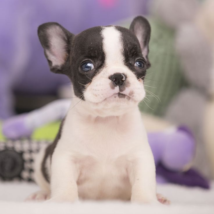 French Bulldog puppy for Sale in FORT PIERCE, FL, USA. ADN-59922 on PuppyFinder.com Gender: Male. Age: 8 Weeks Old. Nickname: Joey