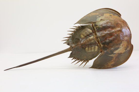 XL Taxidermy Horseshoe crab ( 60cm x 30cm ) Sea-life Natural Home Decor - Large Crab