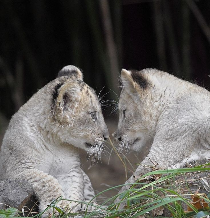 Luke & Leia: the two (sadly orphaned) lion cubs at the Baltimore Zoo