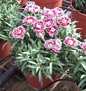 How to grow your own carnations
