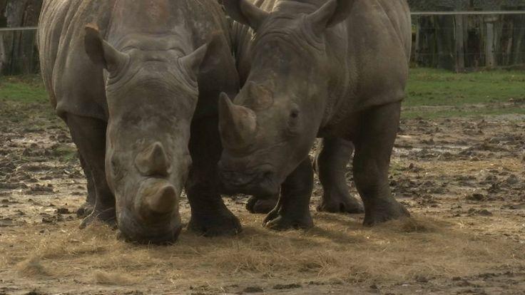 Vince, un rhinocéros de 4 ans, a été abattu par balles dans la nuit de lundi à mardi au zoo de Thoiry, dans les Yvelines. Sa corne principale a disparu et sa petite corne a été en partie tronçonnée. Le parc zoologique est sous le choc et le crime semble avoir été soigneusement préparé. À l'état sauvage, le rhinocéros est braconné pour sa corne. Son prix au kilo peut atteindre plus de 50.000 euros.