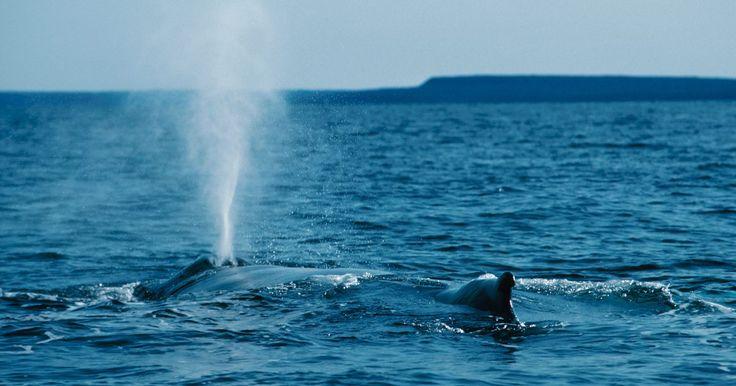 ¿Cuáles son las funciones de los espiráculos? . Los espiráculos son aberturas externas que se encuentran en algunas especies animales, como insectos, arañas y algunas especies de peces y ballenas. La función de los espiráculos está relacionada con la respiración, ayudando a que el oxígeno llegue a los órganos internos respiratorios, tales como los pulmones en las ballenas y la tráquea en los ...