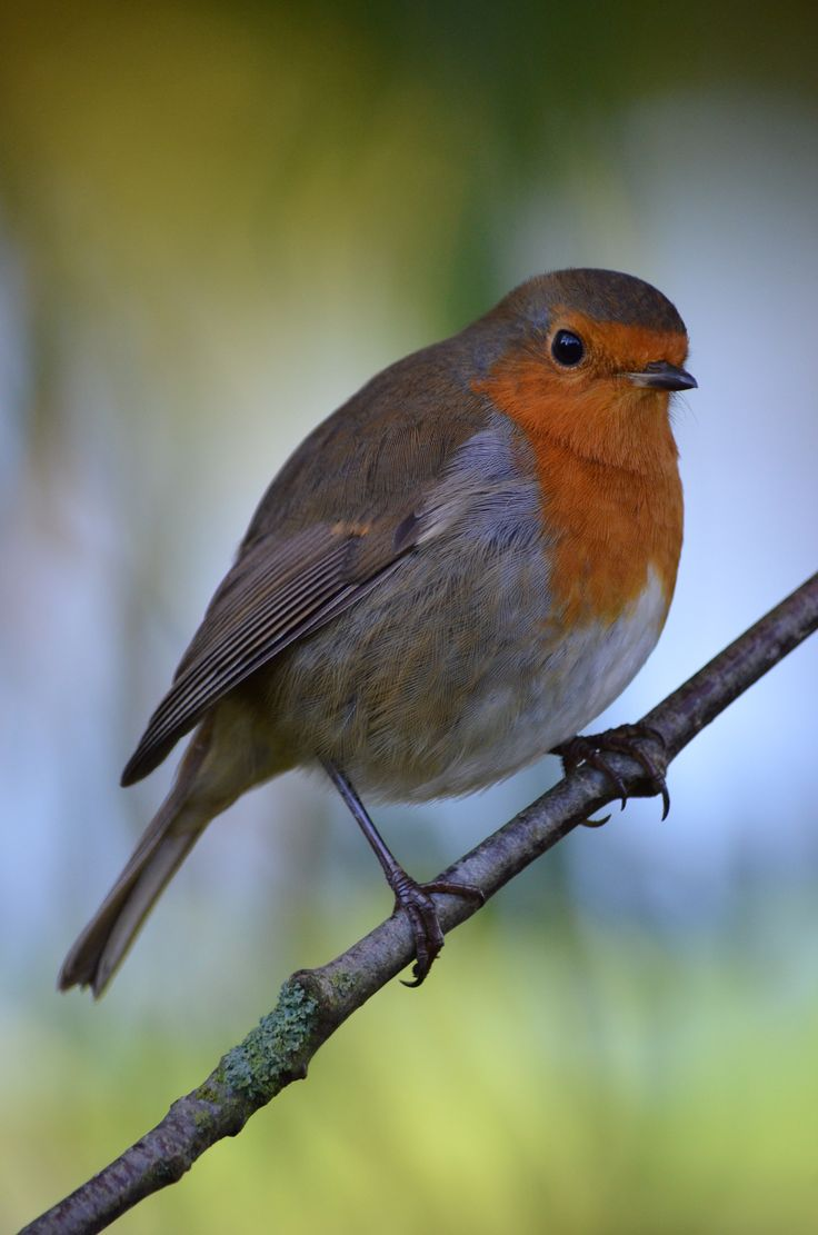 The Robin Redbreast - The Spiritual Centrecom