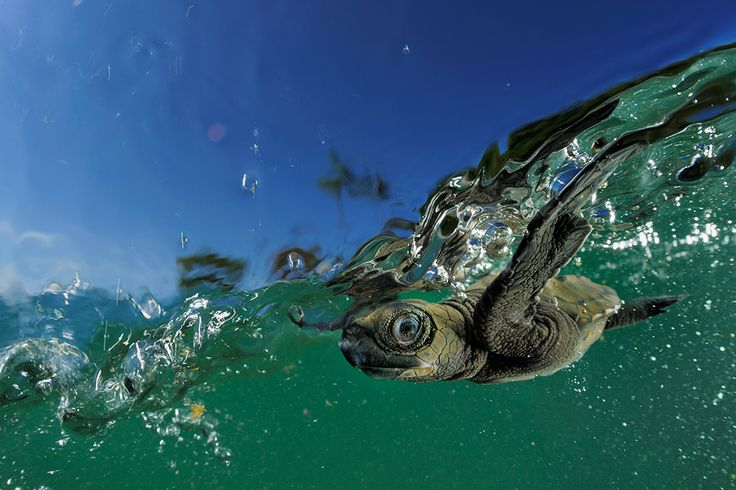 After hatching on land, and overcoming many dangers, a young Turtle's first dash into the ocean. (Lepidochelys olivacea)