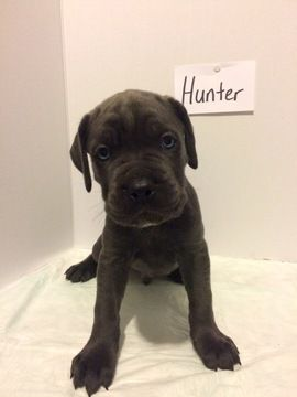 Litter of 9 Cane Corso puppies for sale in AKRON, OH. ADN-32193 on PuppyFinder.com Gender: Male(s) and Female(s). Age: 6 Weeks Old