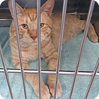 ***Still listed!!!*** BANJO **PURRFECT PERKS**, a cat for adoption.....click on pic for additional information about this furry baby♥♥♥