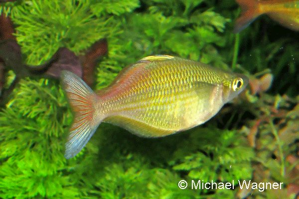 1000+ images about Rainbowfish of Australia ans New Guinea on ...