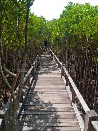 Bosque de manglar, Pran Buri Forest Park, Prachuap Khiri Khan, Tailandia