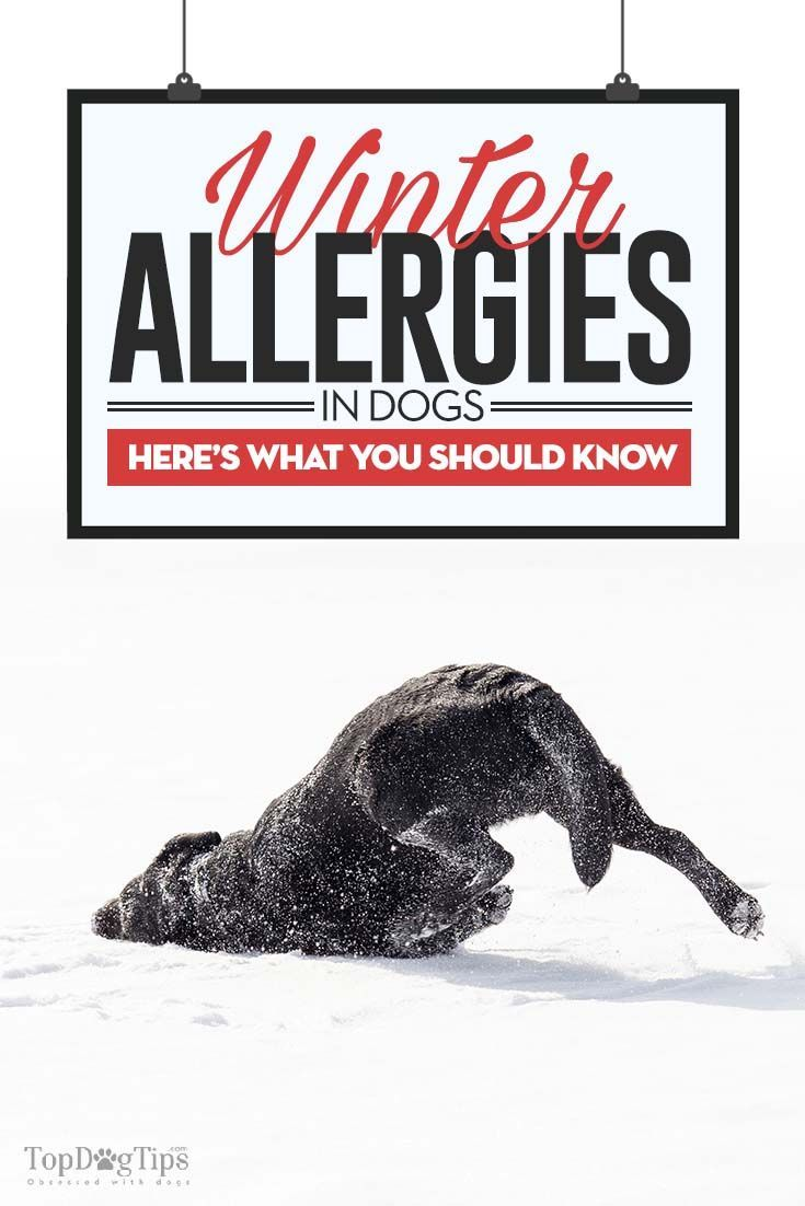 Top Winter Allergies in Dogs. We've all heard about seasonal allergies, but most of us associate them with the spring and fall seasons. Did you know winter allergies in dogs also appear?  Dog Care & Health Tips for happy life -- Repin to your own inspiration board --