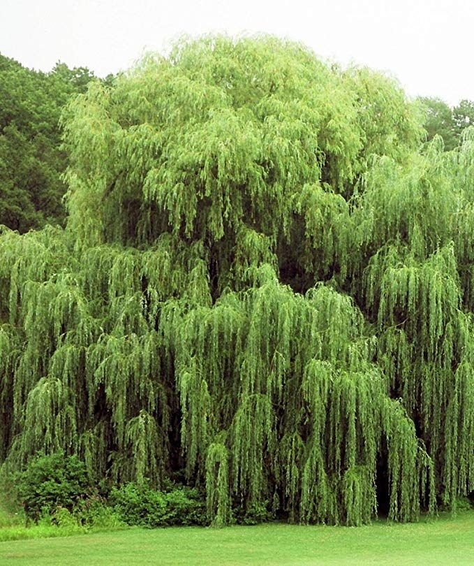 Pussy willow trees for sale online