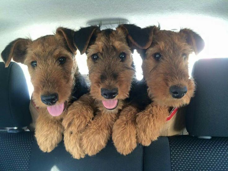 Triple-Cute!!  Airedale Pups