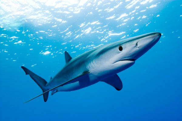 Blue Shark: A species of requiem shark, family Carcharhinidae, that inhabits…