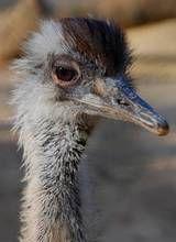 adorable aussie animals | Zoobotanico Jerez :: 28 Agosto 2012: Nacen ocho ñandus en ...