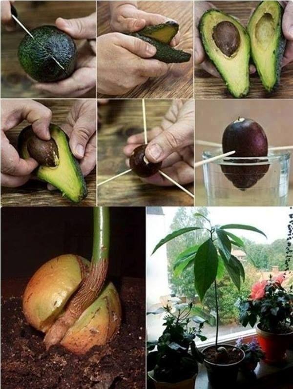 Para cultivar un Aguacate (Palta) en casa. http://www.labioguia.com/como-plantar-arbol-de-paltas/