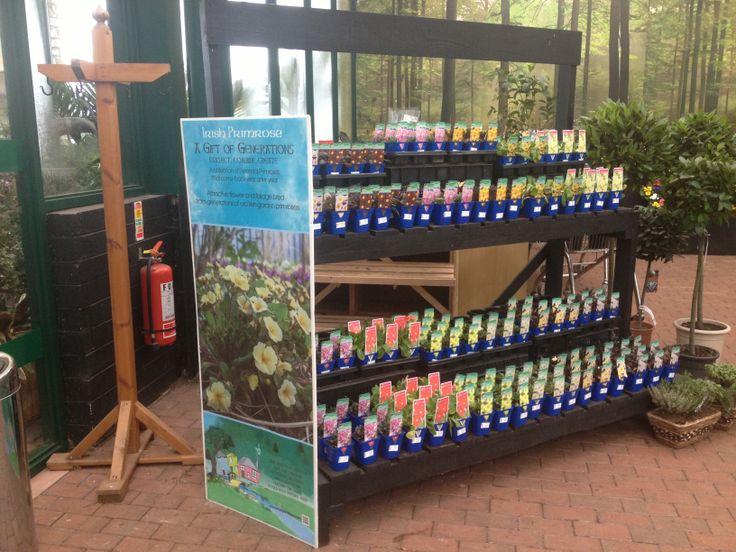 Irish Primrose collection on display at Johnstown Garden Centre