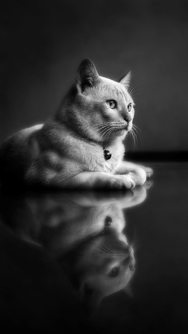 Best 20 iphone wallpaper cat ideas on pinterest cat - Phone animal wallpapers ...