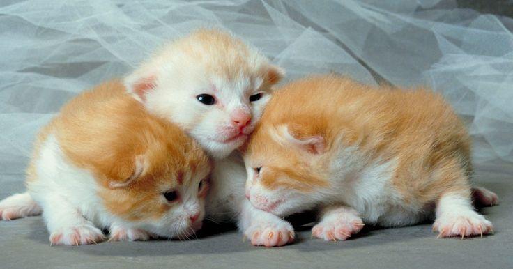 Cura para gatos recém-nascidos com pus nos olhos. Filhotes recém nascidos podem ter diversos problemas de saúde, dentre os quais infecções oculares são bastante comuns. A infecção pode ter sido causada por vários fatores, desde se arranhar acidentalmente enquanto compete por um lugar para mamar, até quando a própria mãe lambe o rosto de um filhote logo depois de ter lambido seu traseiro. ...