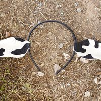 """Whether your child is a cow in the Christmas pageant or is appearing as a cow in a production of """"Charlotte's Web,"""" she will need cow ears. These ears are made on a headband base, so they are comfortable and will fit almost anyone. For example, use these ears to dress the baby like a cow if his big brother is going to be a cowboy for..."""