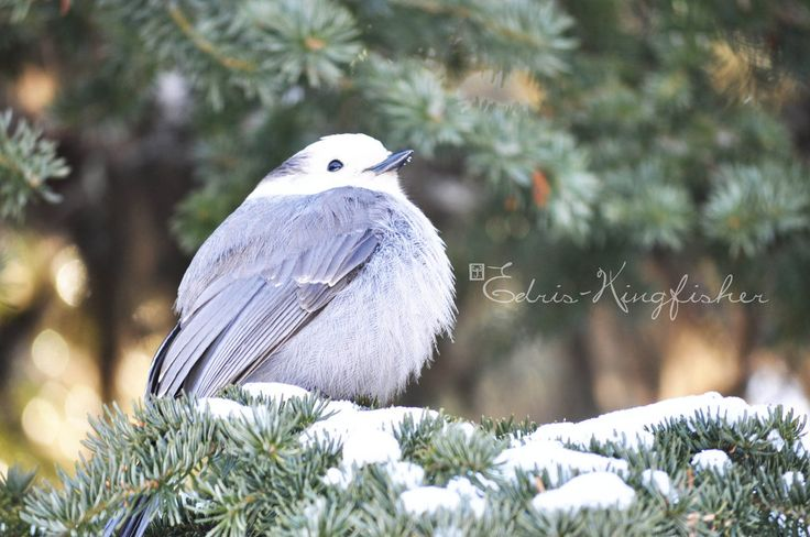 Moose Bird