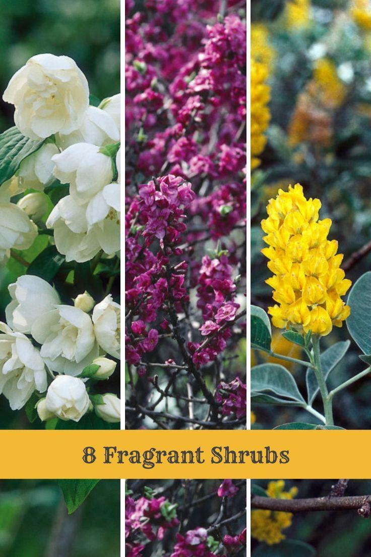 Add Aromas To Your Garden With These Shrub Types --> http://www.hgtvgardens.com/photos/shrubs-photos/shrubs-for-fragrance?soc=pinterest