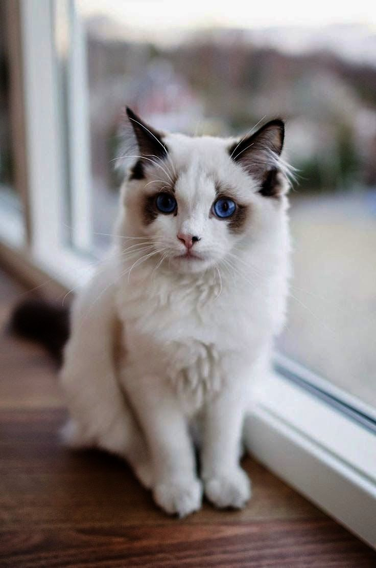Breathtaking Beautiful Cats For Sale In Lahore Pretty Cats Beautiful Cats Cute Cats