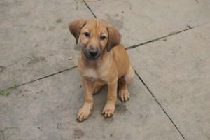 Doot, Sheel litter. is an adoptable Hound Dog in South Toms River, NJ. Indian Native Pups Male Medium Baby Please note that this is a courtesy posting; for any inquires please email Rescuewithoutborde...