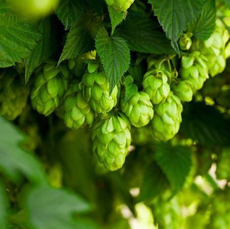 Cascade Hops Plant | Fast-Growing-Trees.com