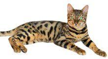 3. De bengaalse kat.jpg  Lijkt op een luipaard en dat is ook te verklaren. Het ras is namelijk een kruising tussen een gewone huiskat en een Aziatische luipaardkat. Na de kruising tussen de twee katten, moeten er vier generaties tussen zitten, wil je het Bengaalse ras krijgen. Daarom kan de prijs oplopen tot €20.000.  https://www.instagram.com/explore/tags/bengaalsekat/