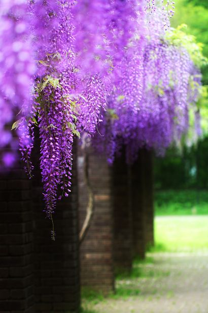 """Japanese colors 藤紫 fuji-murasaki - Japanese has many words for colors. This purple is """"fuji-murasaki"""" and means """"wisteria purple""""."""