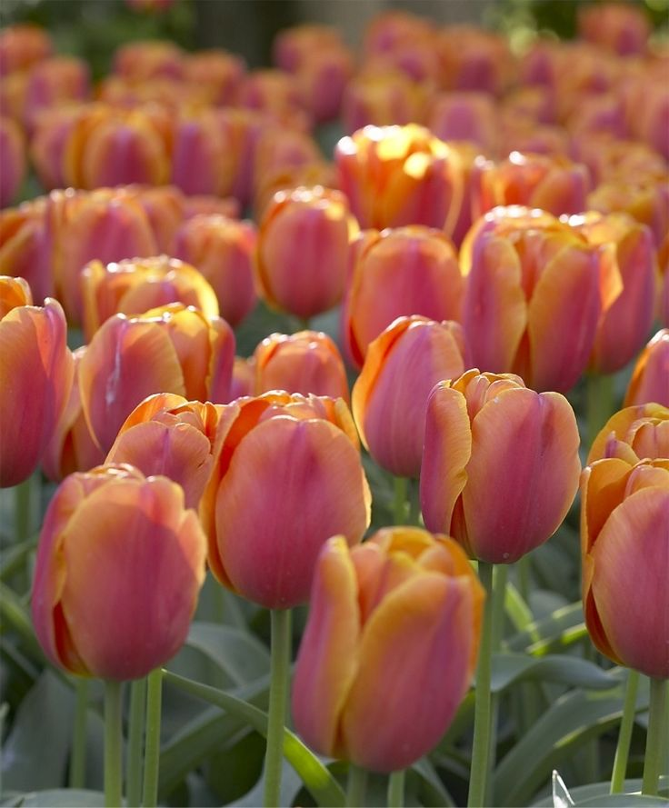 Christmas Orange tulip. Plant in fall for spring blooms in April/May. This is a single early tulip. Love the color!