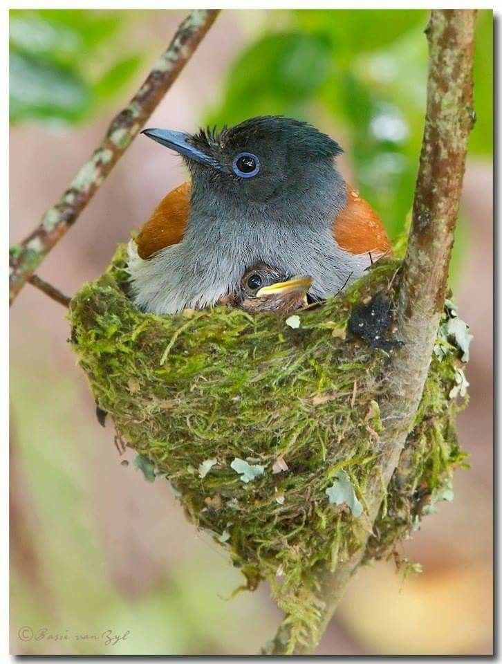 African Paradise Flycatchers