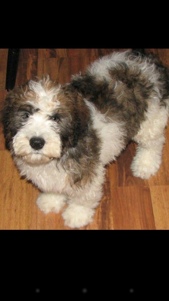 Miniature saint berdoodle! Hypoallergenic. I found my future puppy