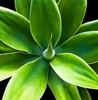 Agave Nectar is a healthy, natural sweetener that is gluten free and allergen free. It has a low glycemic index, so it will not over stimulate the production of insulin the way refined sugar does. Agave Nectar should be substituted for refined sugar for help with weight management, insulin regulation and other health benefits.